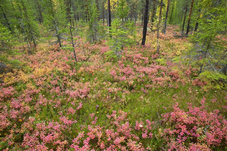 Rich autumnal colour on forest floor, Rendalen, Hedmark, Norway