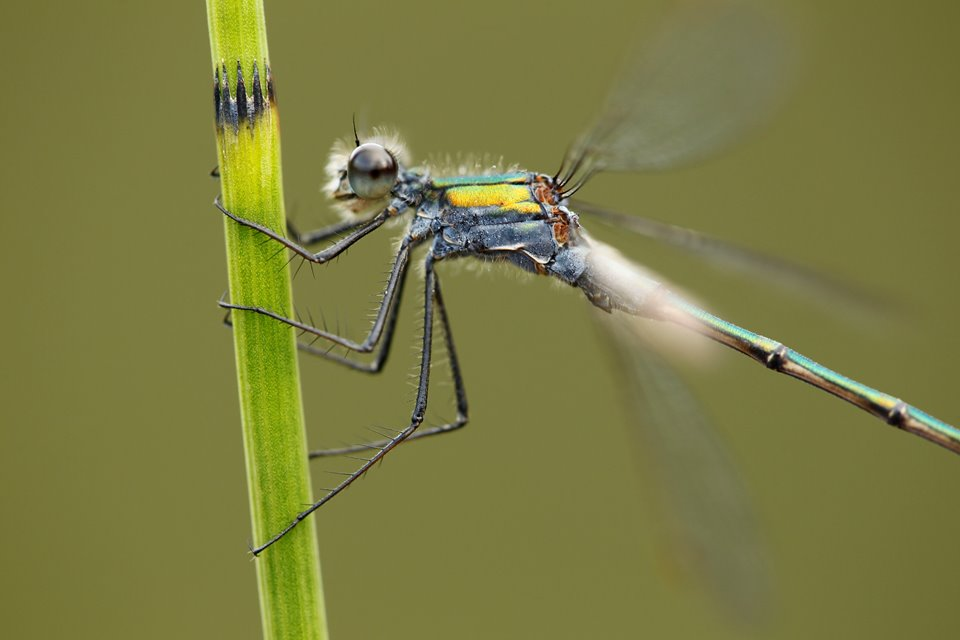 Emerald Damselfy (Lestes sponsa) close-up of adult male at rest, Cairngorms National Park, Scotland