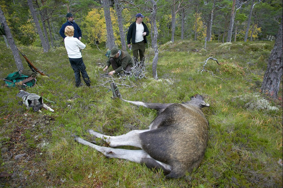 Hunters start to skin recentlty shot elk during annual elk hunt held in September. Flatanger, Nord-Trondelag, Norway