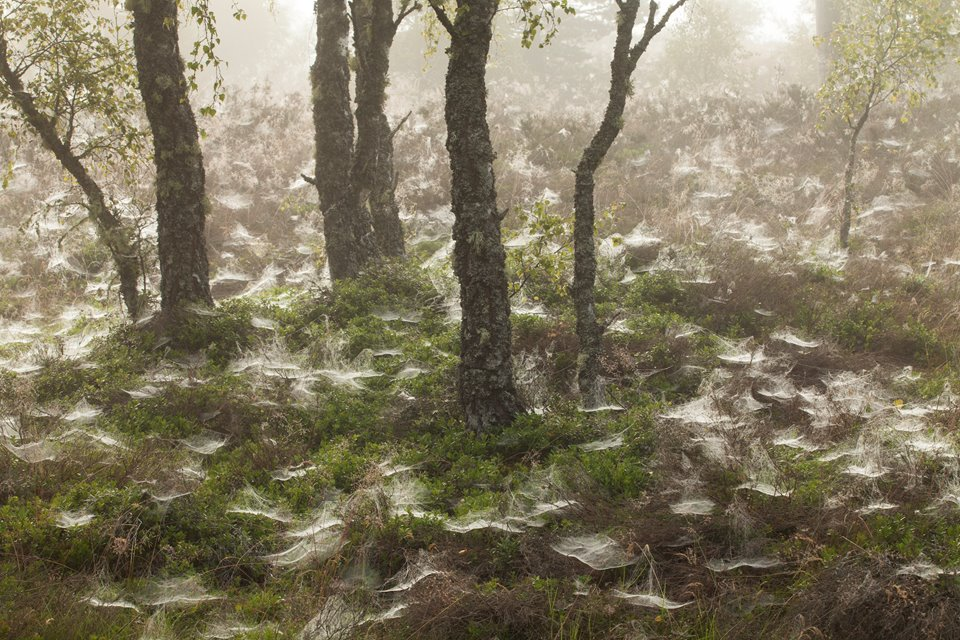 Dew-covered spider's webs in birch woodland, Cairngorms National Park, Scotland