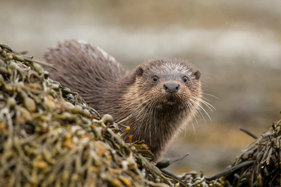 European Otter (Lutra lutra) amongst  kelp covered rocks on coast